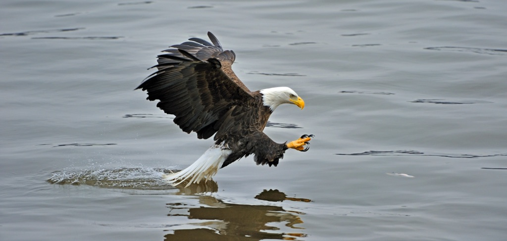 Bald Eagle 13