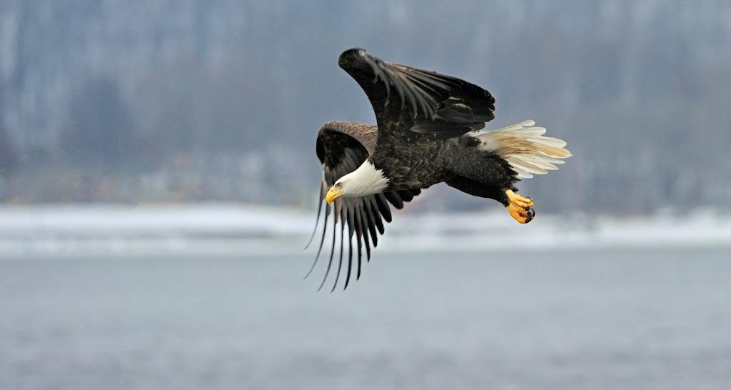 Bald Eagle 15