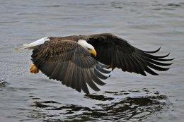 Bald Eagle 21