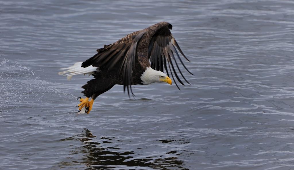 Bald Eagle 22
