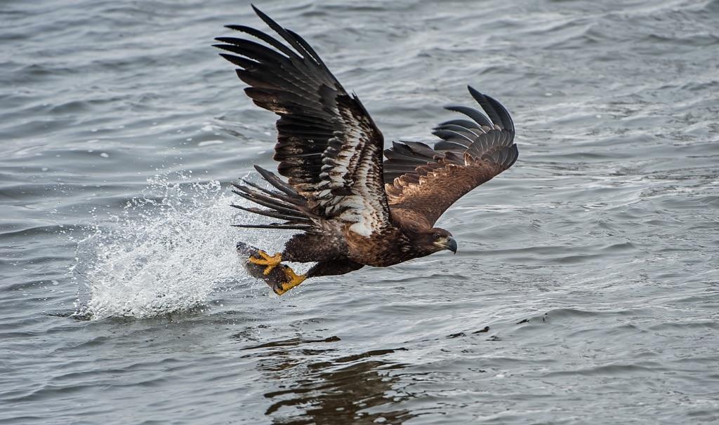 Bald Eagle 24