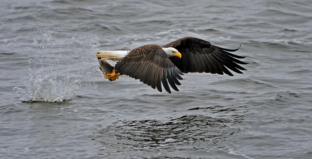 Bald Eagle 25