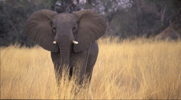 Angry Young African Bull Elephant