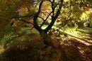 Acer splendour.