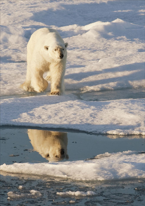 Advacing Polar Bear