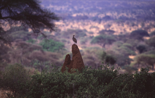 African Lookout.