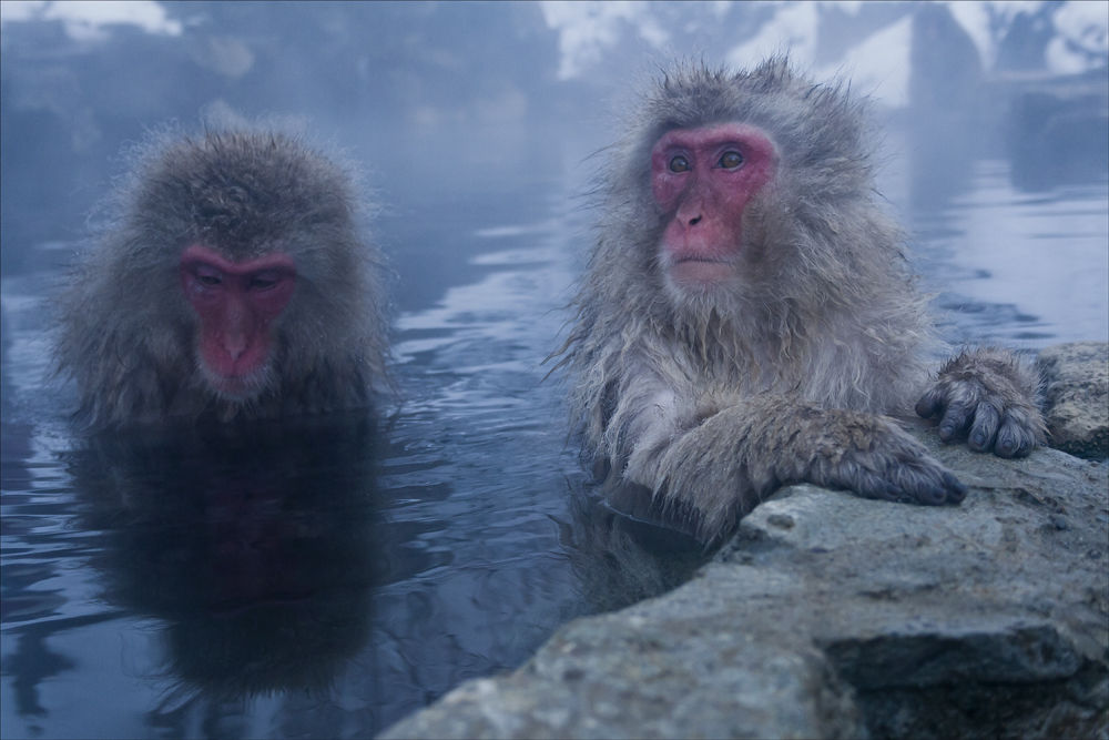 Always Curious, Japanese Macaque's