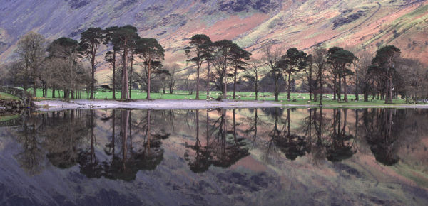 Buttermere Pines,Buttermere Lake District.