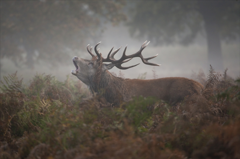 Baying Stag 2