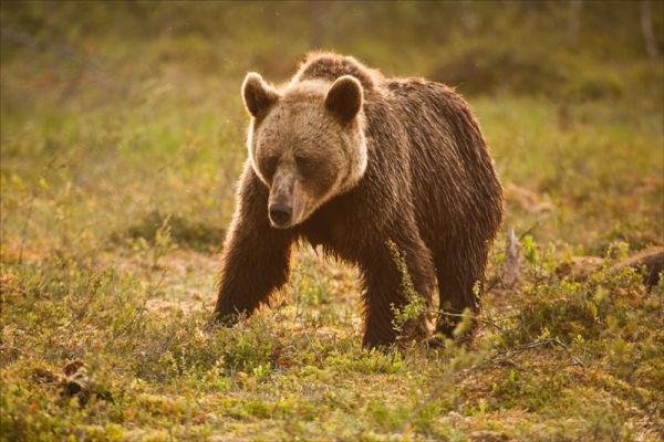 Morning Bear