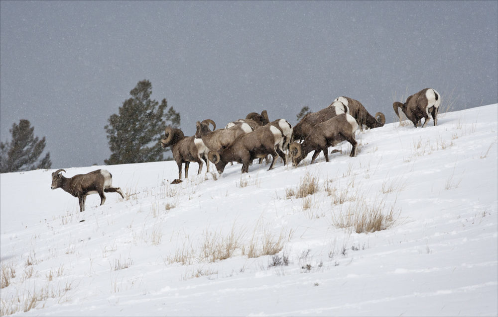 Big Horn Sheep in snowfall