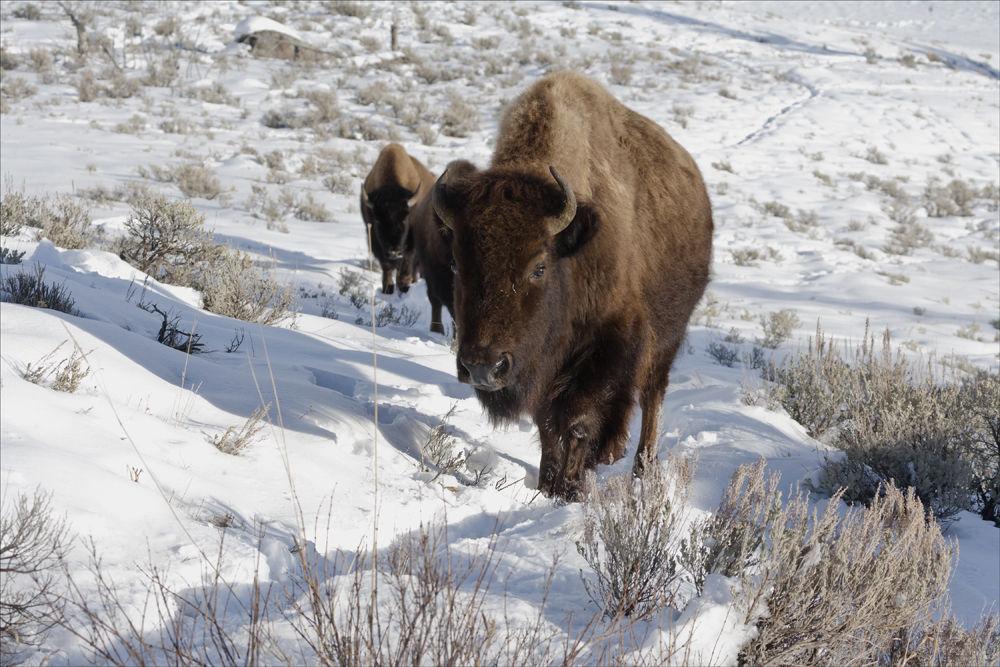 Bison in line