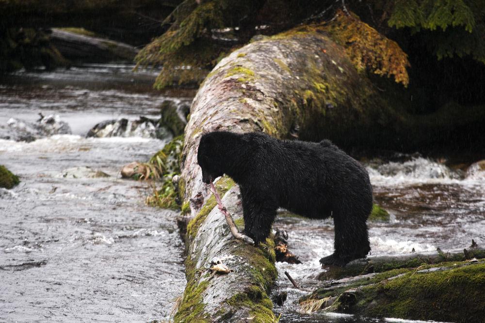 Black Bear lunch !!