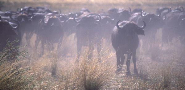 Cape Buffalo in defence