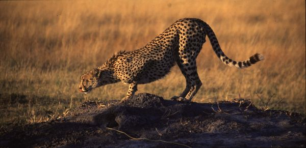 Cheetah, picking up a scent,Botswana.