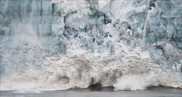 Calving Glacier and Kittywakes
