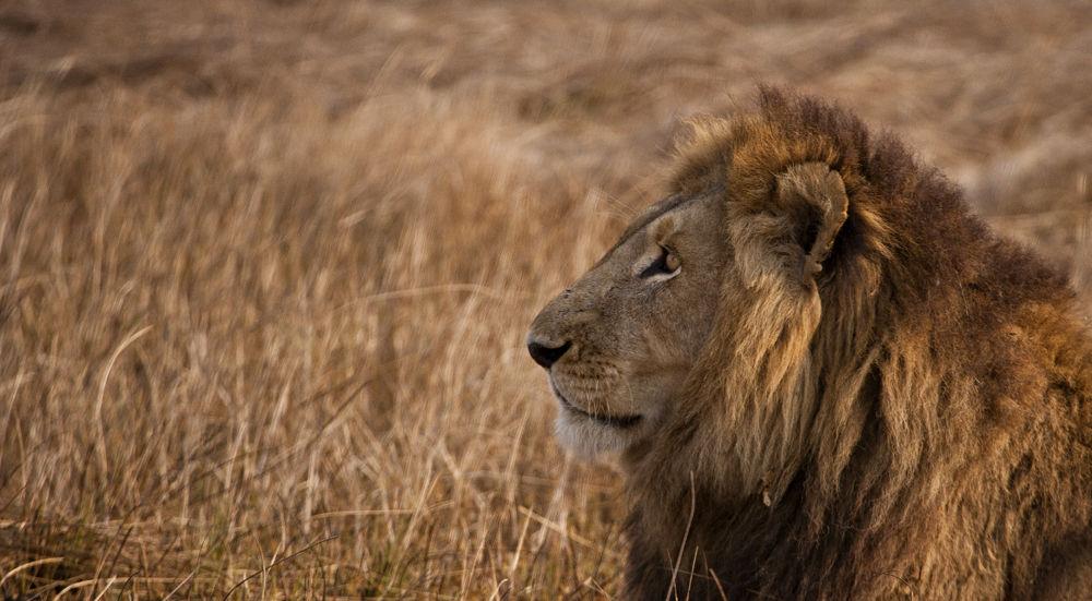 Concentration, Lion