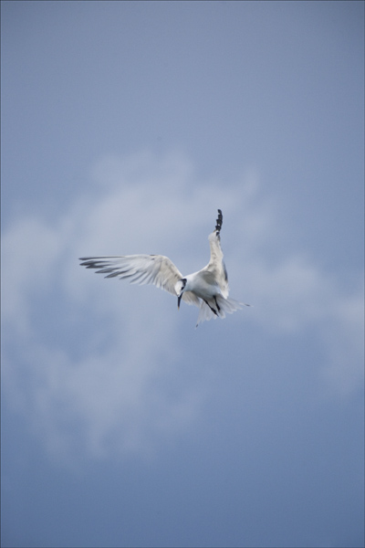 Diving Royal Tern