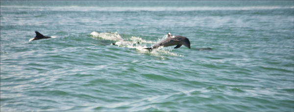 Dolphins at speed