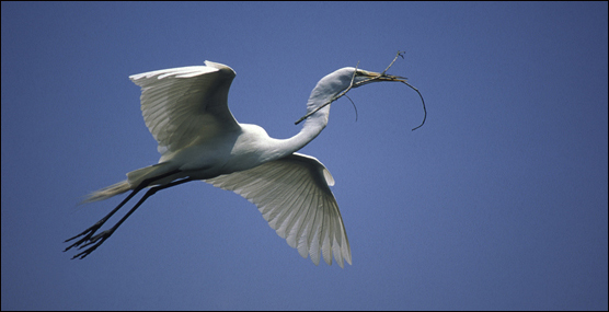 Great White Egret with nesting material.