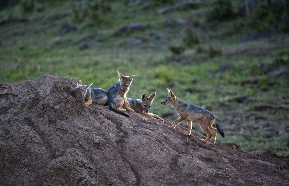 Jackal Puppies
