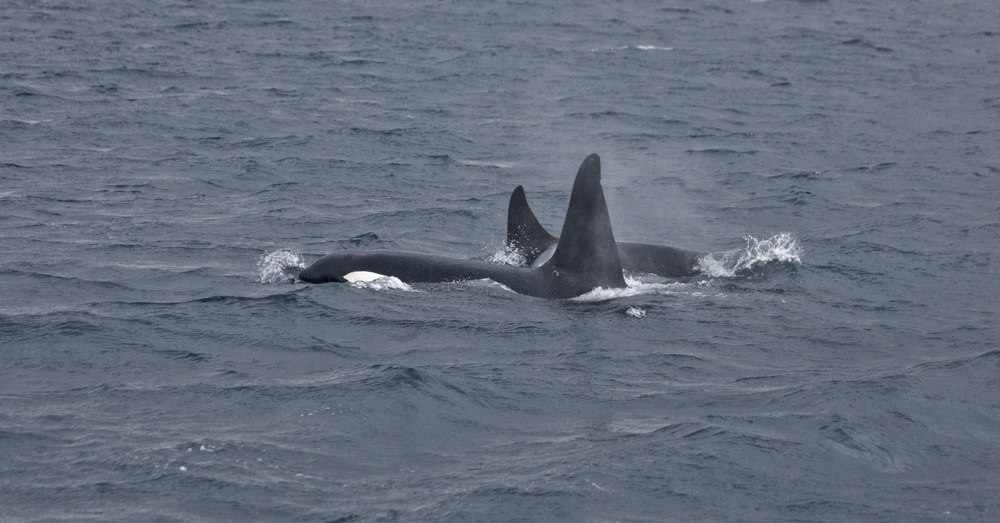 Killer Whales hunting