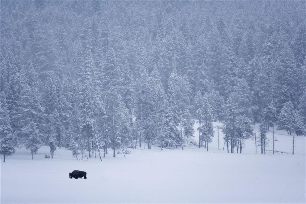 Lone Bison.