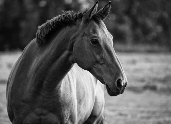 Paddock Horse.