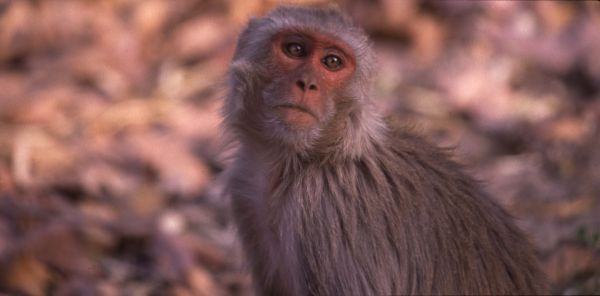 Rhesus Macaque Bandhavgarh India