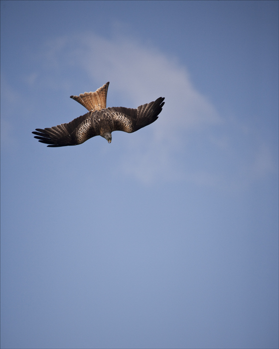 Diving Red Kite.