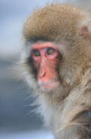 Japanese Macaque.