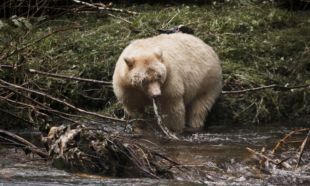 Spirit Bear with Salmon