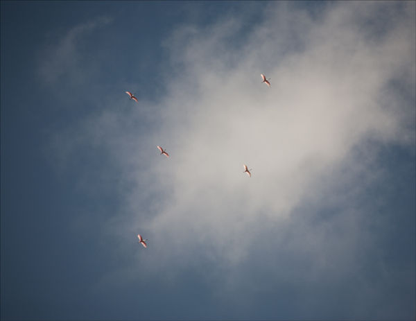 Spoonbills in flight.