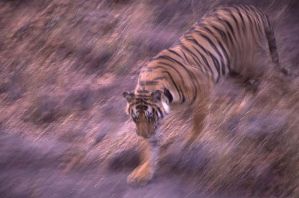 Bengal Tiger on the move