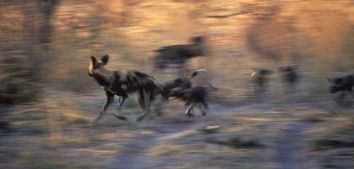 Painted wolves at speed.