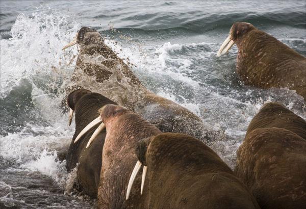 Walrus Panic.