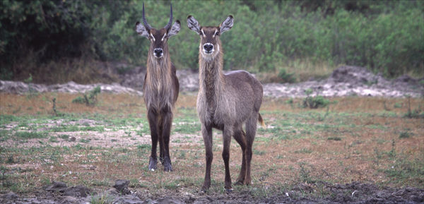 Waterbuck Pair.