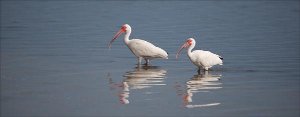 White Ibis pair.
