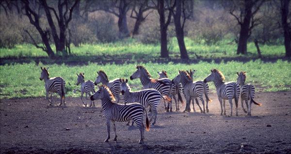 Zebra light.
