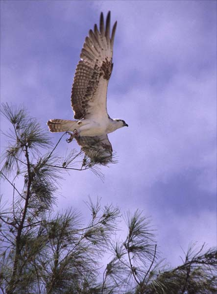 Osprey Take Off.