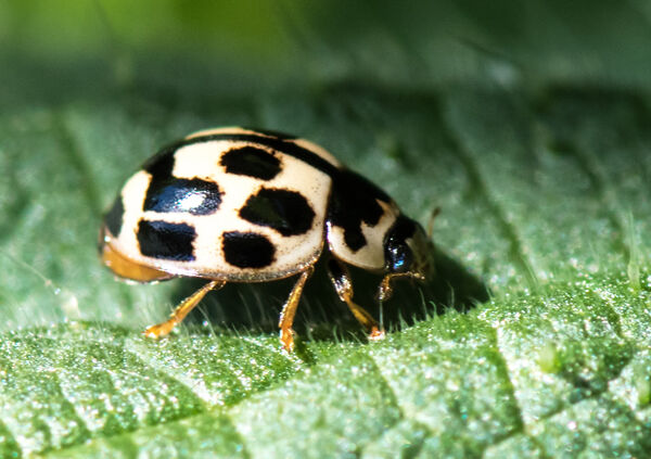 14 - spot ladybird (Propylea 14 - punctata)