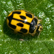 Fourteen Spot Ladybird