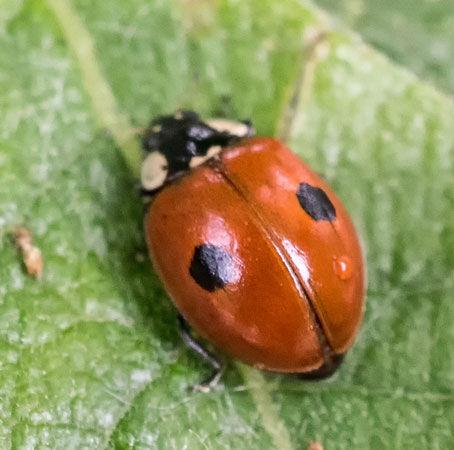 2 -  spot Ladybird (Adalia 2 - punctata)