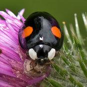 2 spot harlequin ladybird