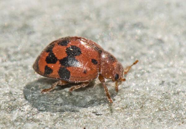 24 - spot Ladybird (Subcoccinella 24 - punctata)