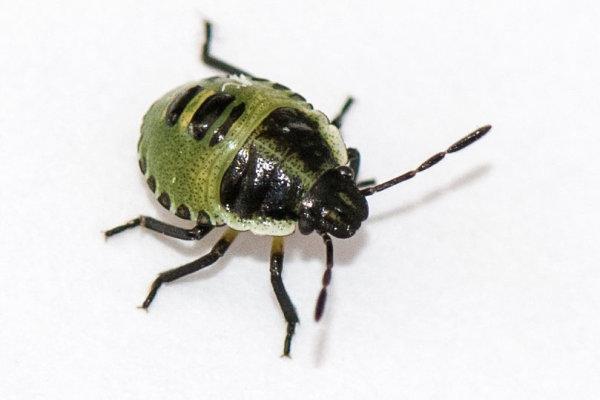 3rd instar Common \green Shieldbug