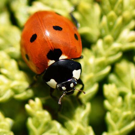 7 - spot Ladybird (Coccinella 7 - punctata)