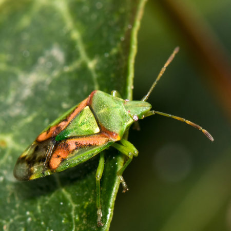 Birch Shield Bug (Elasmostethus interstinctus)
