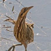 UK Birds (Water)