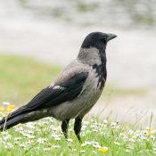 Black Hooded Crow (Corvus corone cornix)